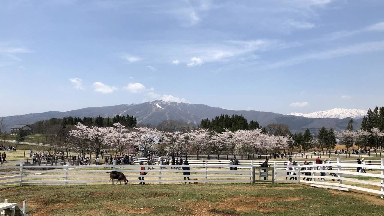 牧歌の里チューリップと桜