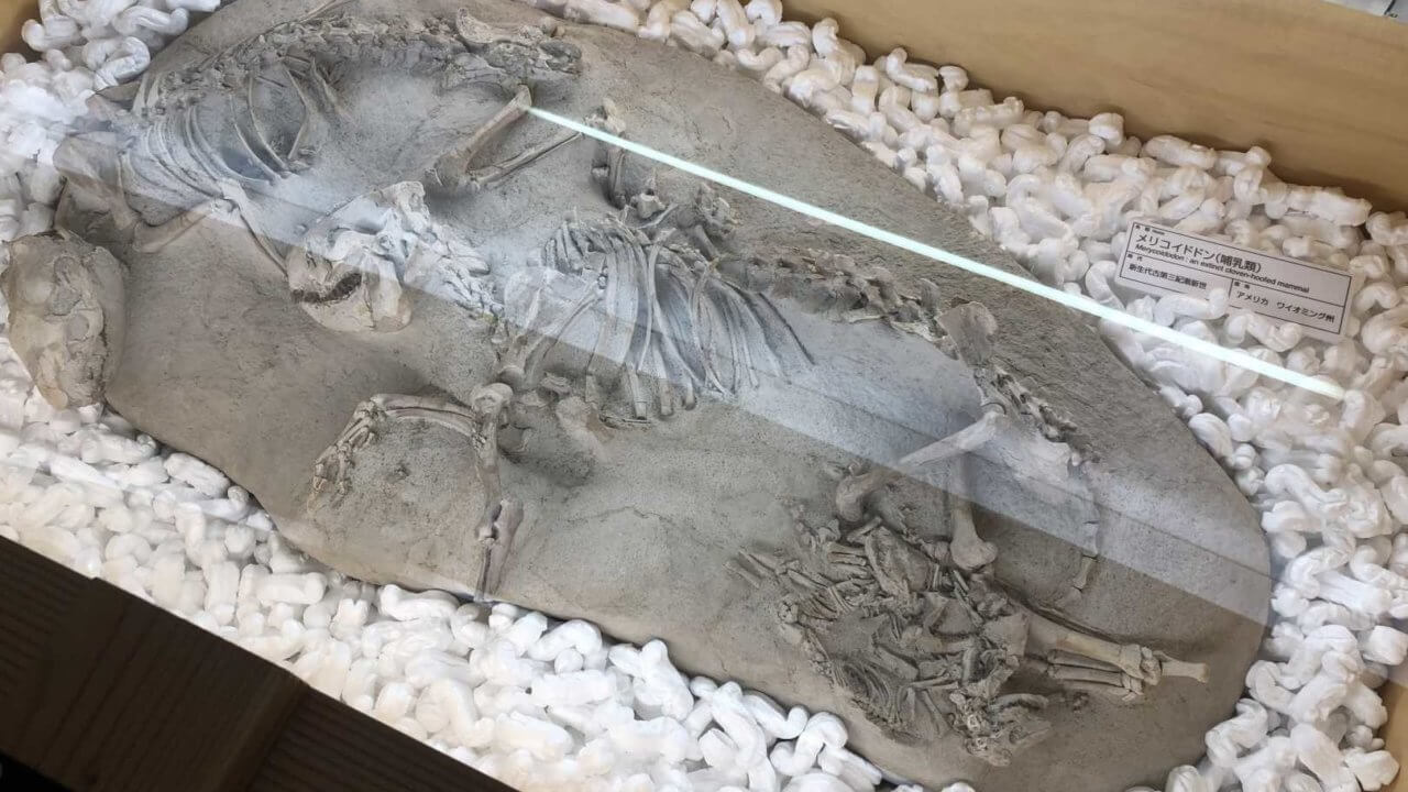 福井県立恐竜博物館の子ども恐竜の化石